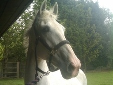 FULL LOAN 16HH ISH MARE - Cambridgeshire