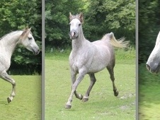 Arabs horse - 5 yrs 1 mth 0 hh Grey - Devon