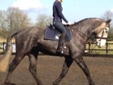 All Rounder horse - 7 yrs 1 mth 16.2 hh Iron Grey - Lincolnshire