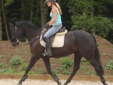 All Rounder horse - 4 yrs 15.3 hh Black - Surrey