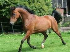 Arabs horse - 9 yrs 0 hh Bay - Devon