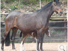 Quality Competition Broodmare