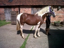 All Rounder horse - 3 yrs 14.3 hh Skewbald - Kent
