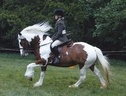 All Rounder horse - 14 yrs 14.2 hh Skewbald - Devon