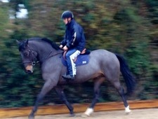 16. 1 hands 8 years old Irish Draught X brown Gelding