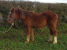Young Stock  horse - 1 yr 1 mth 15.0 hh Chestnut - West Sussex