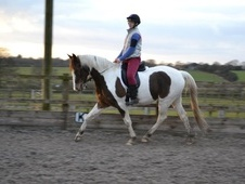 All Rounder horse - 6 yrs 11 mths 15.2 hh Coloured - West Midlands