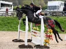 Dutch Warmblood Gelding, 5 Year Old, 16. 2hh