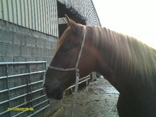 Riding Club Horses/Ponies horse - 5 yrs 16.0 hh Liver Chestnut - ...