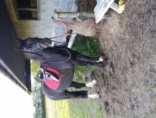 14. 2hh 6 year old Welsh Section D