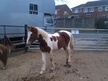Coloured horse - 9 mths 15.2 hh Skewbald - Leicestershire