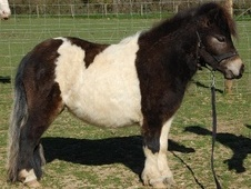 Miniatures horse - 1 yr 11 mths 8.0 hh Skewbald - Hampshire