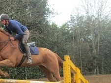 All Rounder horse - 6 yrs 16.2 hh Chestnut - Leicestershire