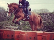 All Rounder horse - 5 yrs 16.2 hh Chestnut - Nottinghamshire