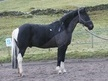 Riding Club Horses/Ponies horse - 9 yrs 15.2 hh Skewbald - Cumbria