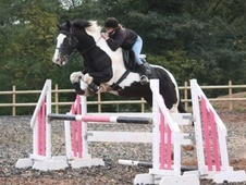 All Rounder horse - 7 yrs 16.0 hh Coloured - West Midlands