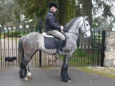All Rounder horse - 5 yrs 15.2 hh Dapple Grey - Lanarkshire