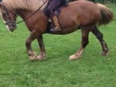 *for Sale* 14. 1 Traditional Cob Mare Chestnut
