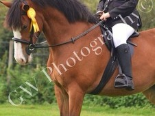 15. 3hh 7 Year old Mare for Sale