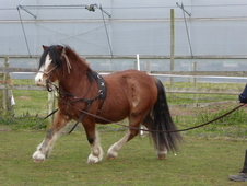 Beautiful 3yr old Welsh pony