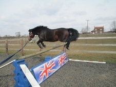 All Rounder horse - 9 yrs 12.0 hh Dark Bay - Lincolnshire