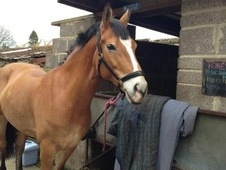 All Rounder horse - 12 yrs 14.2 hh Dun - Hampshire