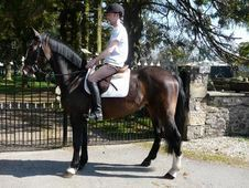 All Rounder horse - 6 yrs 15.3 hh Bay - Lanarkshire