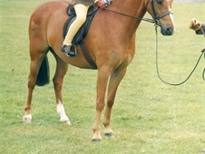 Quality 12. 2 Dykebeck Pony For Sale
