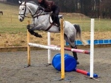 Eventers horse - 5 yrs 16.0 hh Grey - Wiltshire