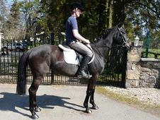 All Rounder horse - 8 yrs 15.1 hh Bay - Lanarkshire