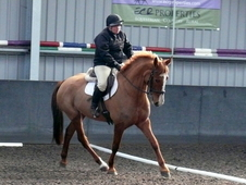 16. 2hh Gorgeous Chestnut Mare - Homebred