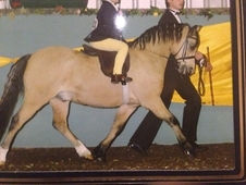 Stunning Section A Lead Rein Or First Ridden Pony.