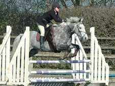 All Rounder horse - 7 yrs 15.2 hh Dapple Grey - Lincolnshire