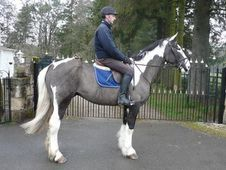 All Rounder horse - 8 yrs 16.0 hh Piebald - Lanarkshire