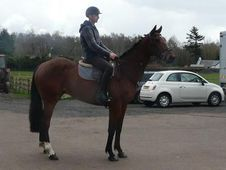 Riding Club Horses/Ponies horse - 6 yrs 16.1 hh Bay - Lanarkshire