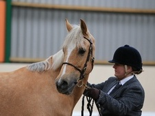 All Rounder horse - 6 yrs 11 mths 15.0 hh Palomino - Essex