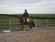 All Rounder horse - 14 yrs 4 mths 16.0 hh Chestnut - Mid Glamorgan