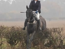 Ex Racehorses horse - 7 yrs 16.2 hh Bay - North Yorkshire
