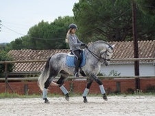 Dressage horse - 7 yrs 16.2 hh Dapple Grey