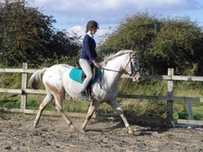 15hh Irish Draft X Appaloosa 5 Year Old Mare