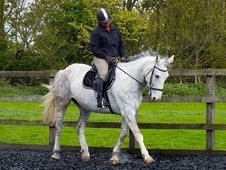 All Rounder horse - 10 yrs 16.2 hh Dapple Grey - Essex