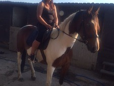 For sale coloured mare 15. 3h 7 years old driven