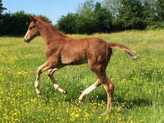 foal by Corravale to make 16:2hh all round performance horse