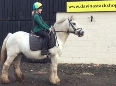 Irish Cob - Cobs - 14 hh - Norfolk
