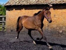 All Rounder horse -  16.3 hh Bay - Cambridgeshire