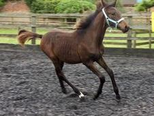 All Rounder horse - 16. 2 hh Bay - Cambridgeshire