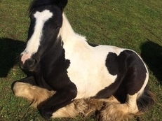 14.1 2 Year coloured cob