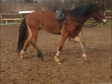 Reg Welsh sec D filly 14. 2hh still growing