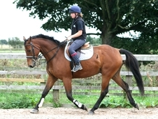 7 year-old - Warmblood - All Rounder - Gelding - 16. 2 hh - West ...