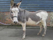 13 year-old - Donkey - Donkeys - Gelding - 11. 1 hh - Surrey
